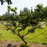 Few Tips How To Espalier Fruit Tree