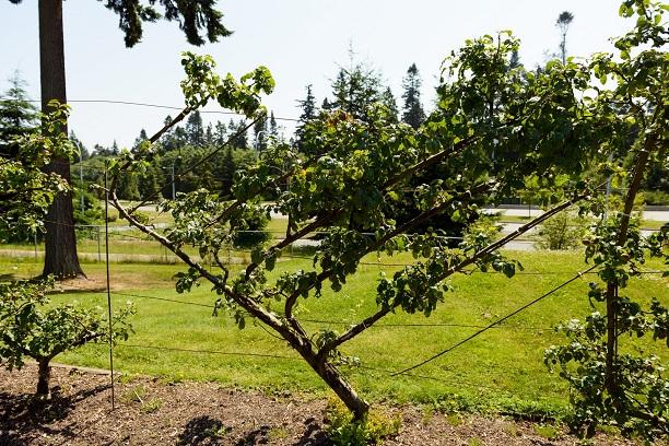 Espalier Fruit Tree