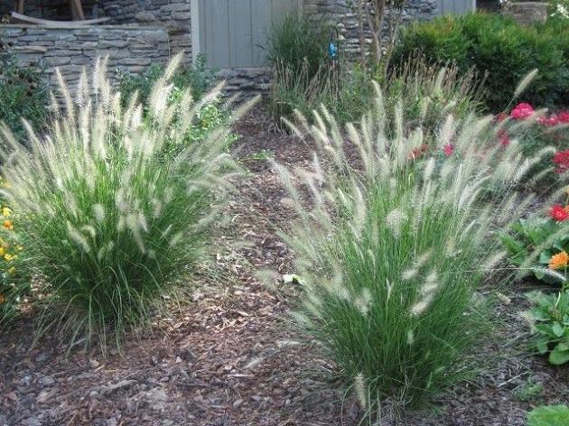 Grass Plants Australia