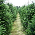 Tips For Choosing Evergreen Trees: Add Greenery That Will Last All Year Long