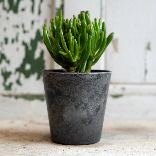 picture of money tree plant