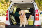 dog in back of a car