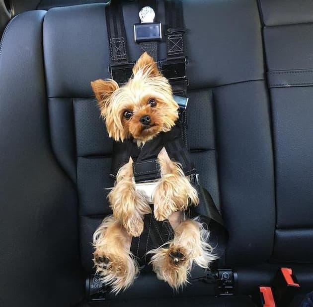 fluffy brown dog in a car seat belt