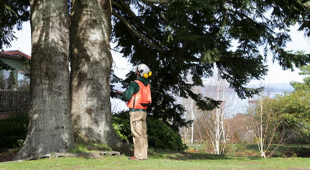 tree arborist assessing a tree